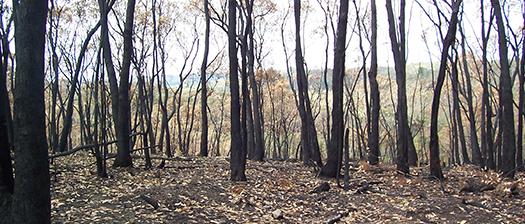 Burned trees on a hillside